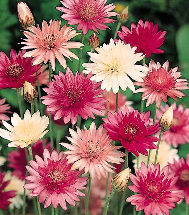 Xeranthemum double flowers - annual flower seeds