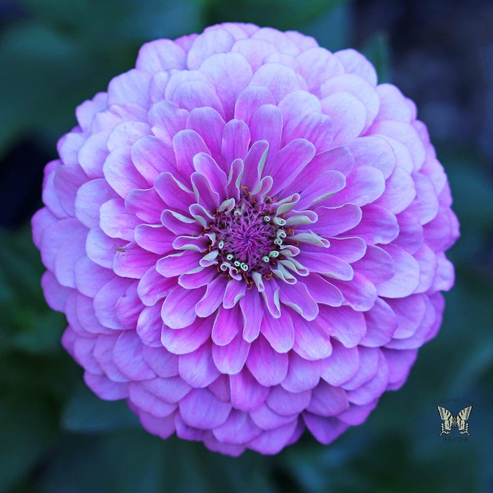 Art Deco zinnia flower