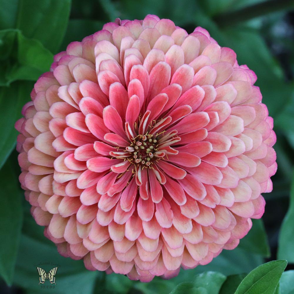 Art Deco zinnia pink flower