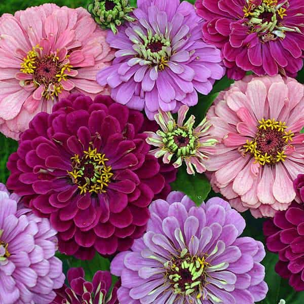 Art Deco zinnia seeds