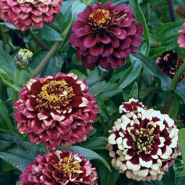 Aztec Burgundy Bicolour zinnia seeds