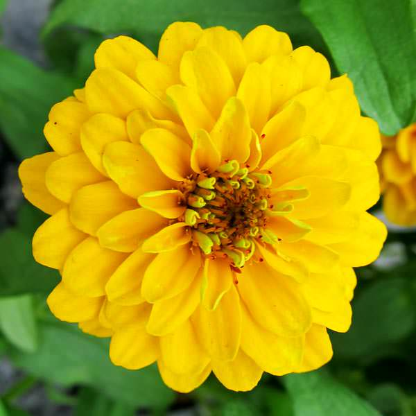 Aztec Gold zinnia seeds