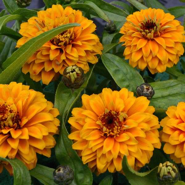 Aztec Orange zinnia seeds