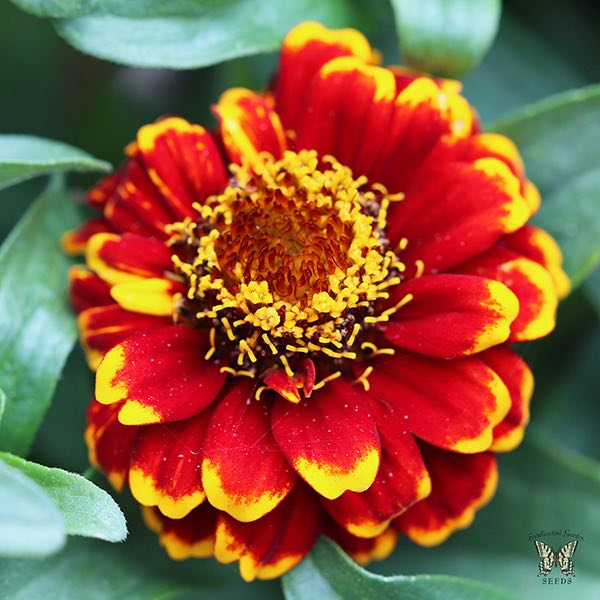 Aztec Red Bicolour zinnia flower with more red
