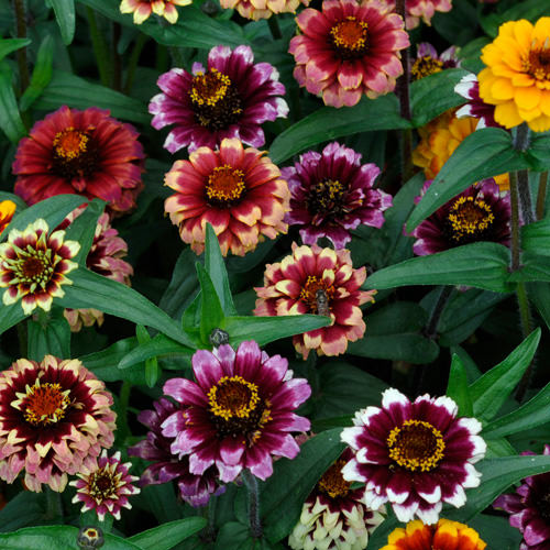 Aztec Sunset zinnia seeds
