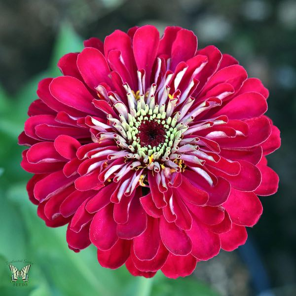 Benary's Giant Deep Red zinnia seeds