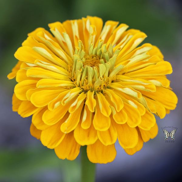 Benary's Giant Golden Yellow zinnia seeds