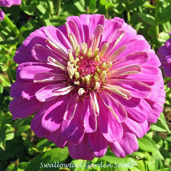 Benary's Giant Lilac zinnia seeds