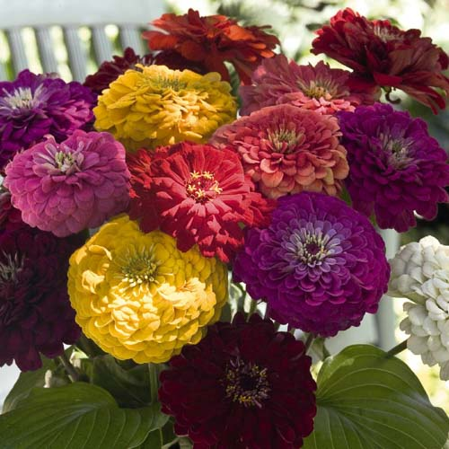 Benary's Giant Mix zinnia seeds