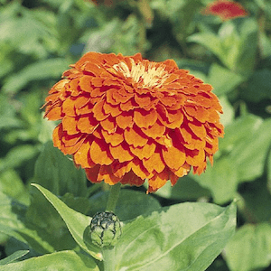 Zinnia Benary's Giant Orange flower garden seeds