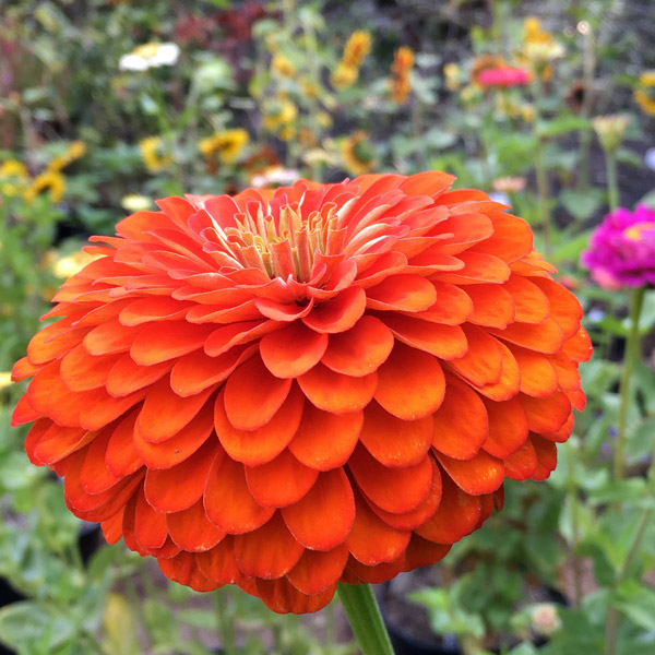 Benary's Giant Orange zinnia seeds