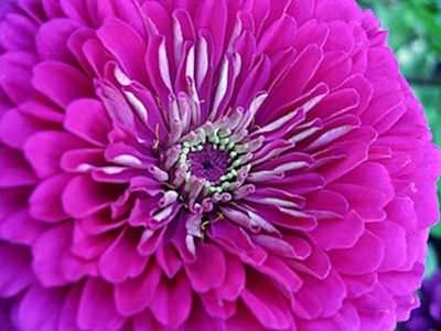 Benary's Giant Purple zinnia seeds