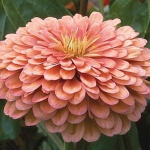 Benary's Giant Salmon Rose zinnia seeds