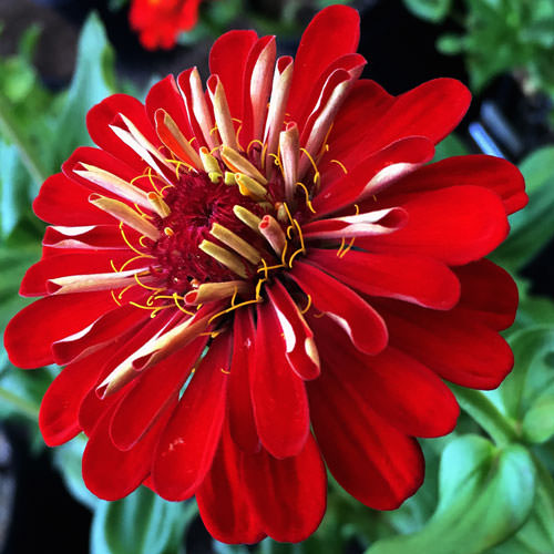 Benary's Giant Scarlet zinnia seeds