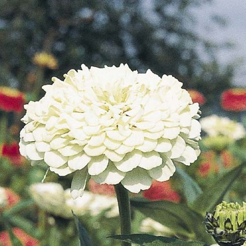 Benary's Giant White zinnia seeds
