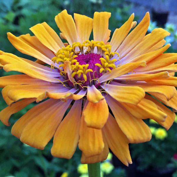 Burpeeana Giants Mix zinnia flowers