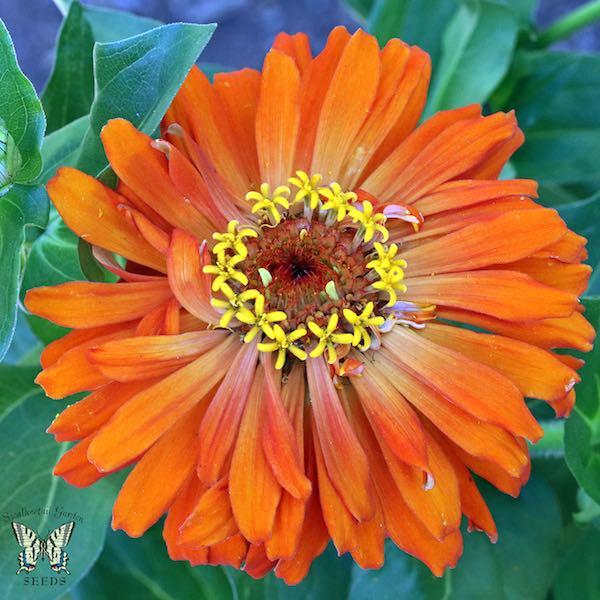 Burpeeana Giants Mix zinnia flower orange