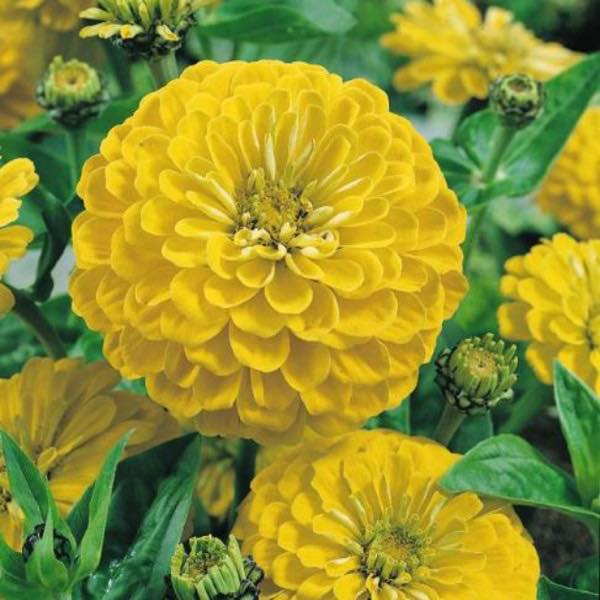 Canary Bird zinnia seeds