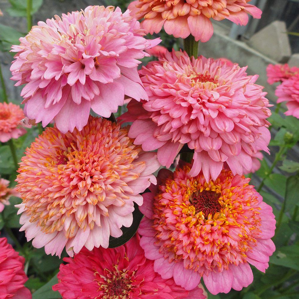 Cupcakes Pink zinnia seeds