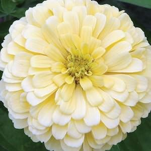 Creamy Yellow Giant zinnia seeds