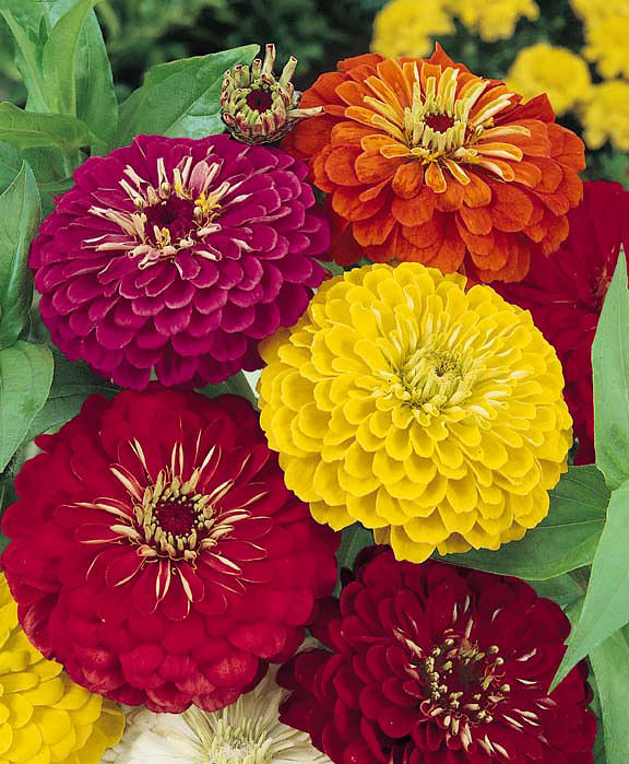 Dahlia Flowered Formula Mix Zinnia Seeds Annual Flower