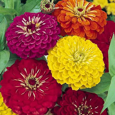 Dahlia Flowered Formula Mix zinnia seeds