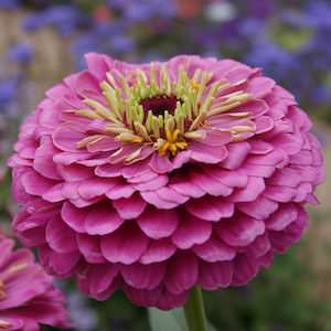 Dream zinnia seeds