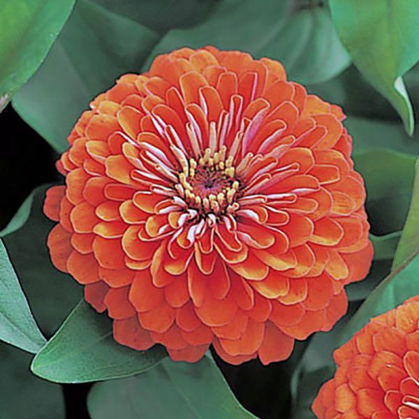 Dreamland Coral zinnia seeds