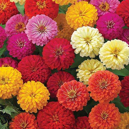 Dreamland Mix zinnia seeds