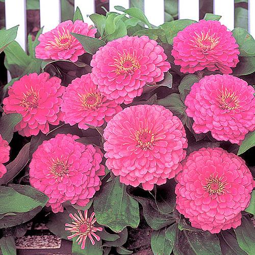 Dreamland Pink zinnia flowers