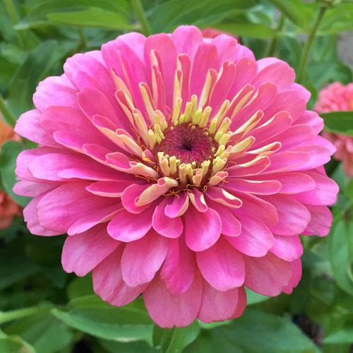 Zinnia Dreamland Pink flower garden seeds