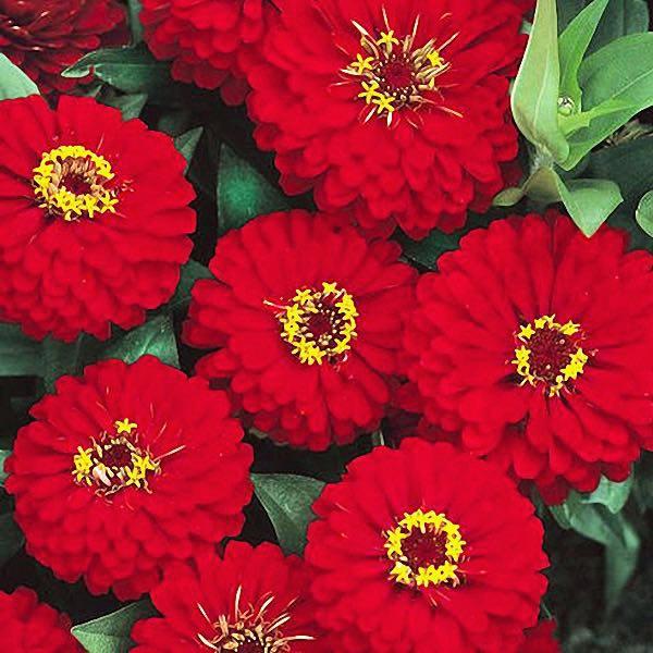 Zinnia Dreamland Red flowers