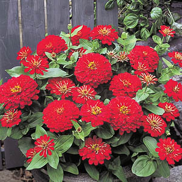 Dreamland Red zinnia seeds