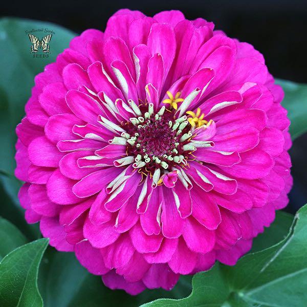 Dreamland Rose zinnia seeds