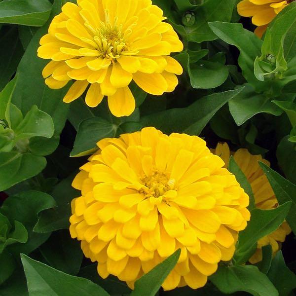 Dreamland Yellow zinnia seeds