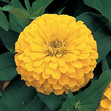 Zinnia Dreamland Yellow flower garden seeds