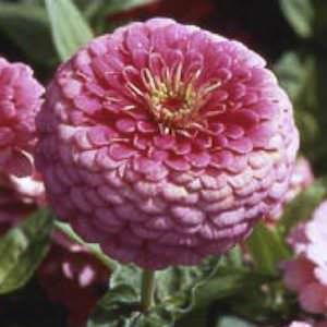 Illumination zinnia seeds
