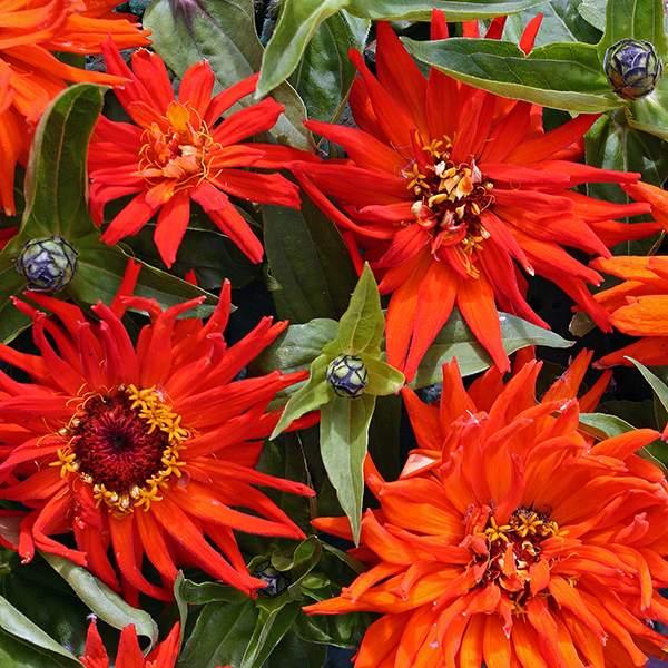 Inca cactus zinnia seeds