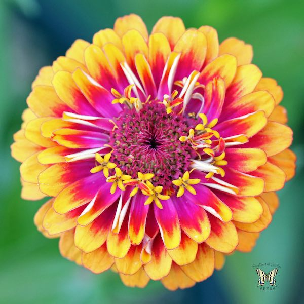 Zinnia seeds 117 zinnias huge selection of annual flower seeds flower macarenia bicolor zinnia mightylinksfo