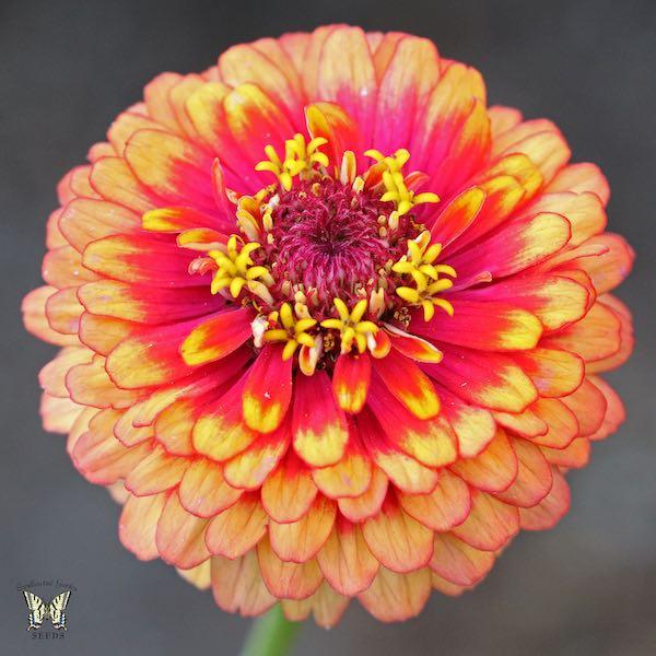 Macarenia zinnia flower