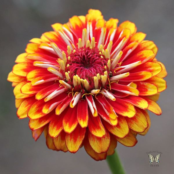 Macarenia zinnia red and yellow bicolor flowers