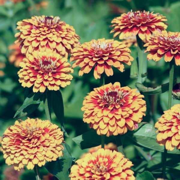 Zinnia Macarenia flower garden seeds