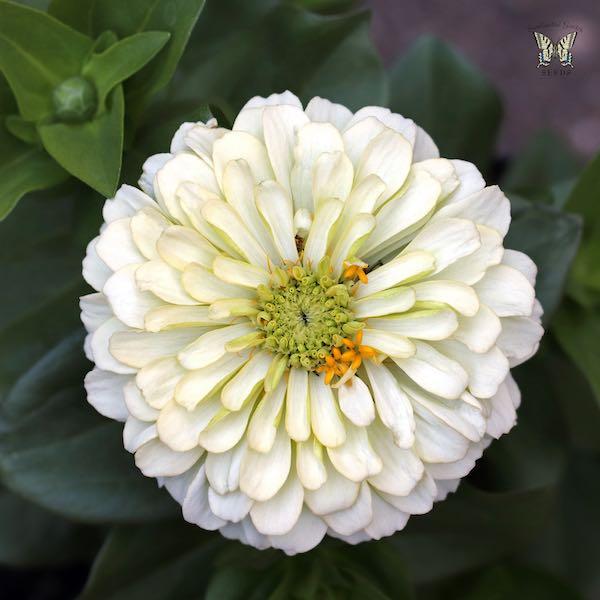 Magellan Ivory zinnia seeds