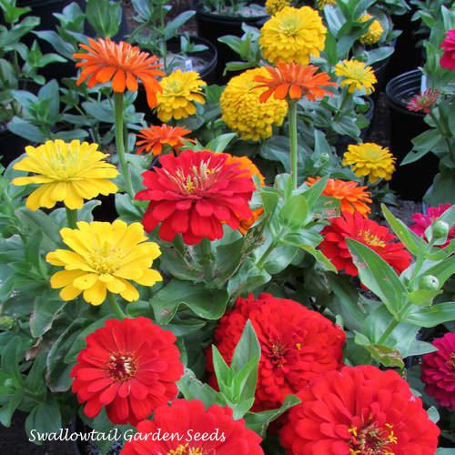 Magellan Sunburst Mix zinnia seeds