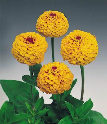 Zinnia Oklahoma Golden Yellow flower garden seeds