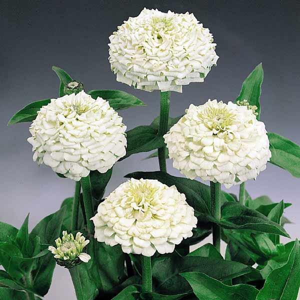 Oklahoma White zinnia seeds