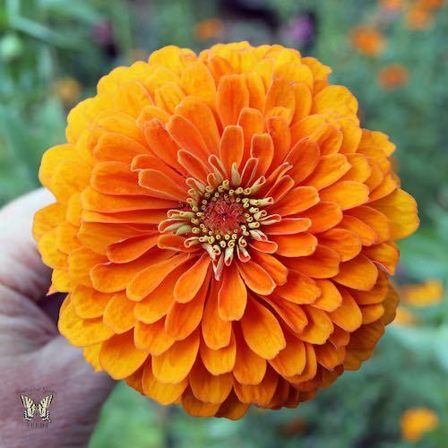 Orange King zinnia seeds