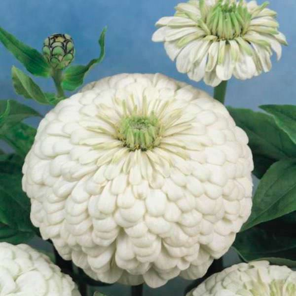 Polar Bear zinnia seeds