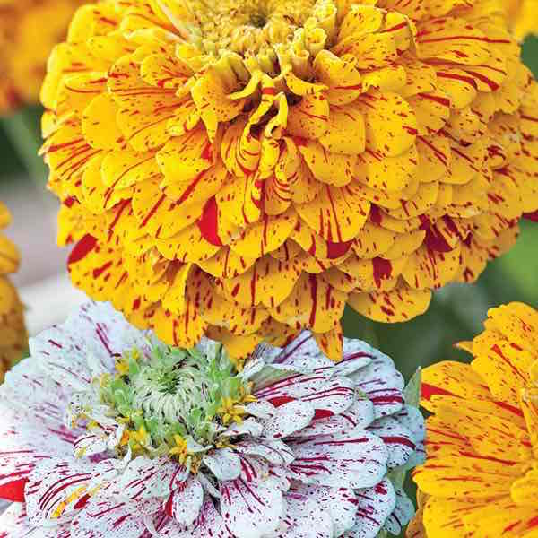 Pop Art Gold Red & White Mix zinnia seeds