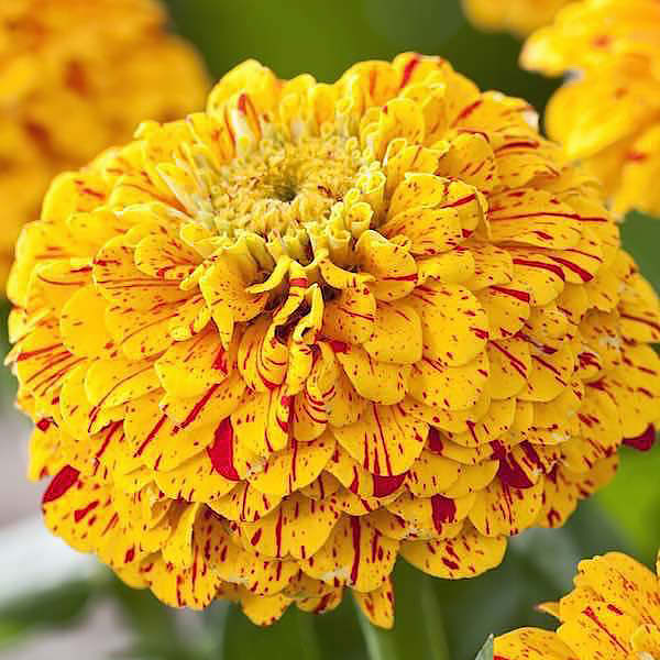 Pop Art Gold & Red zinnia seeds